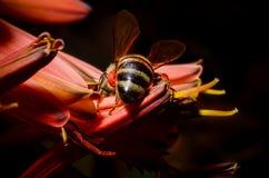Extremidade da abelha Imagem de Stock Royalty Free