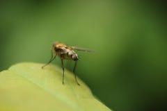 Extremidade da mosca Foto de Stock Royalty Free