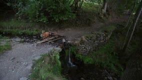 A extremidade de um rebanho das cabras que cruzam um rio com uma cachoeira pequena vídeos de arquivo