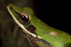 Extremo cercano para arriba de treefrog verde foto de archivo