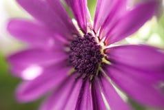 Extremo cercano para arriba de un Osteospermum púrpura durante la primavera Foto de archivo libre de regalías
