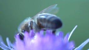 Extremo cercano para arriba de una abeja que come el néctar metrajes