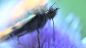 Extremo cercano para arriba de una mariposa que come el néctar almacen de video