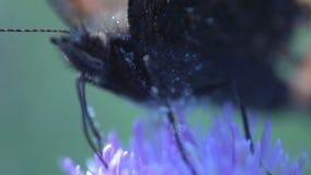Extremo cercano para arriba de una mariposa que come el néctar almacen de metraje de vídeo