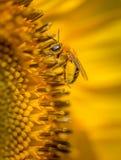 Extremo cercano para arriba del girasol con vertical de la abeja Fotografía de archivo