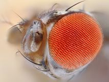 Cierre del ojo de la mosca del vinagre para arriba fotografía de archivo