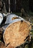 Extremo de un primer aserrado del tronco de árbol Imagen de archivo libre de regalías