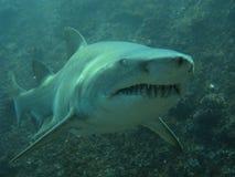 Extremo del asunto de un tiburón de enfermera gris imagen de archivo