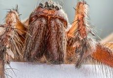 Extremo próximo acima da cabeça da aranha doméstica Tegenaria da casa foto de stock