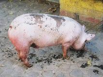 Extremo Rojizo-rosado del cerdo masculino grande fotografía de archivo libre de regalías