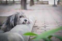 Extremt hårig och smutsig hund arkivfoton