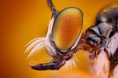 Extremt kors och specificerad sikt av huvudet för rånarefluga som tas med mikroskopmålet Arkivfoto