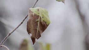 Extremt närbildsikt av det med is bladet av trädet i vinterdag lager videofilmer