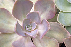 Extremt slut upp av öknen Rose Succulent Plant Royaltyfri Bild
