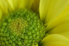 Extremt slut upp av den gula och gröna krysantemumet arkivfoton
