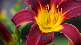 Extremt slut upp färgrik röd och purpurfärgad Daylily Royaltyfri Fotografi