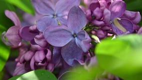 Extremt slut upp purpurfärgade lila blommor lager videofilmer
