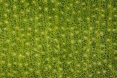 Extremvergroting - Stomatas in een groen blad bij 20x Stock Afbeelding