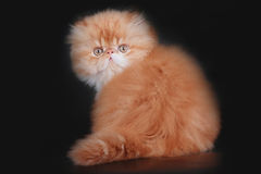 Extrimal persian kitten Stock Photos