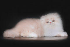 Extrimal persian kitten. Portrait of extrimal persian kitten Stock Photos