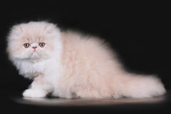 Extrimal persian kitten. Portrait of extrimal persian kitten Stock Image