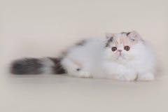 Extrimal persian kitten. Portrait of extrimal persian kitten Royalty Free Stock Image