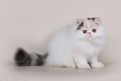 Extrimal persian kitten. Portrait of extrimal persian kitten Stock Images