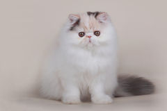 Extrimal persian kitten Royalty Free Stock Photos