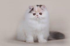 Extrimal persian kitten. Portrait of extrimal persian kitten Royalty Free Stock Photos