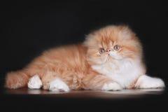 Extrimal persian kitten. Portrait of extrimal persian kitten Stock Photography