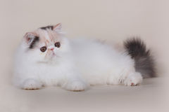 Extrimal persian kitten Royalty Free Stock Image