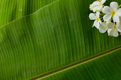 exture background of backlit green banana leaf,There are flowers Stock Image