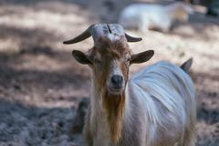 Extured goat with a long brown, gray beard and long horns royalty free stock images