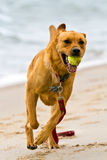 Exuberant dog. Happy dog exuberantly running with his retrieved tennis ball on the beach Royalty Free Stock Images