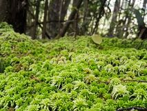 Moss Bryophyta of green color, forming layer of leaf litter on a forest floor royalty free stock photos