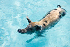 Exumas游泳猪 免版税库存图片