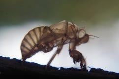 Exuvia цикады Стоковое Изображение RF