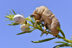 Exuvia of cicada Stock Images