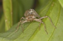 Exuvia von Libelle aeshna cyanea Lizenzfreies Stockbild