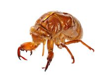 Exuviae of a Cicada royalty free stock images