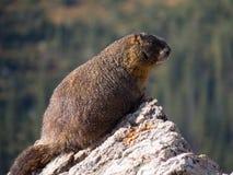 Eyballs de una marmota yo de una roca en la divisoria continental en Colorado Foto de archivo