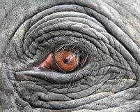 The Eye. An eye of an elephant Royalty Free Stock Image