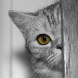 An eye. Kitty. 1 year old scottish fold Royalty Free Stock Photos