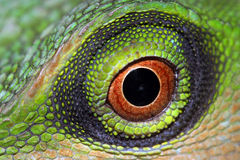 Eye. Close up of a green tree lizard stock photo