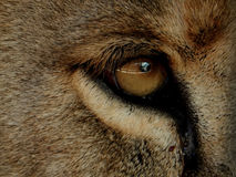 Eye of an adult lion. Close-up Royalty Free Stock Image
