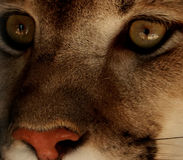 Eye of an adult lion. Close-up Royalty Free Stock Images