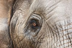 The eye of an African Elephant Stock Photos