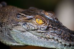 Eye of alligator Royalty Free Stock Photo