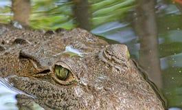 Eye of American Crocodile Royalty Free Stock Image