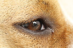 Eye of amstaff Stock Images